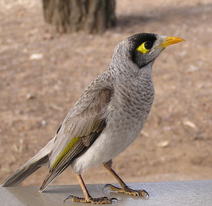 Noisy miner bird.  Native to Australia.
